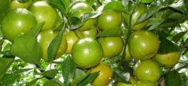 Ứng dụng nano bạc trồng cây cam, quýt, bưởi