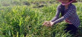 Ứng dụng nano bạc trồng gừng