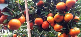 Ứng dụng nano bạc trong trồng cam đường