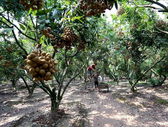 Công nghệ nano được áp dụng vào trồng nhãn tại Hưng Yên. Ảnh minh họa: Vũ Sinh/TTXVN